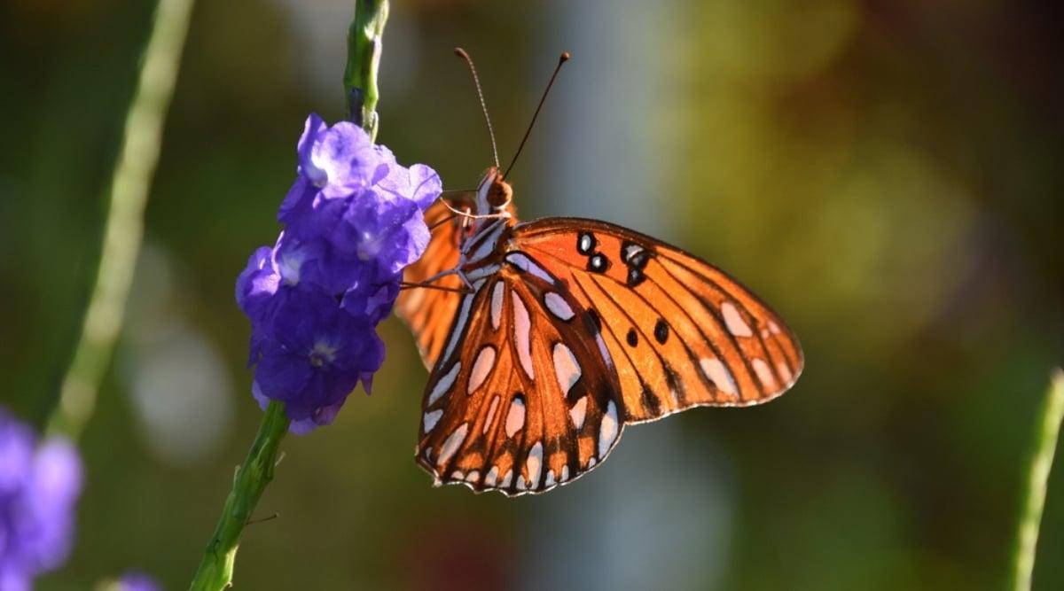 Orange Winged Insect on Purple Salvia