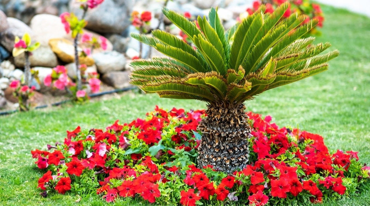 Palm Tree With Flowers at Base