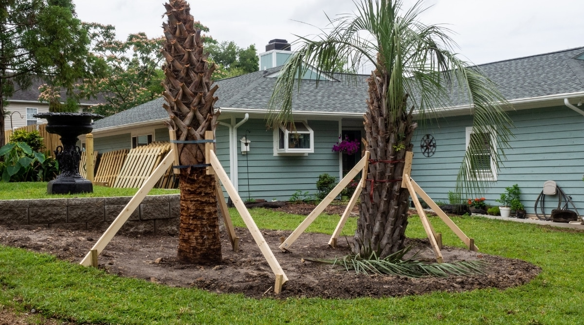 Palms Being Braced With Wood