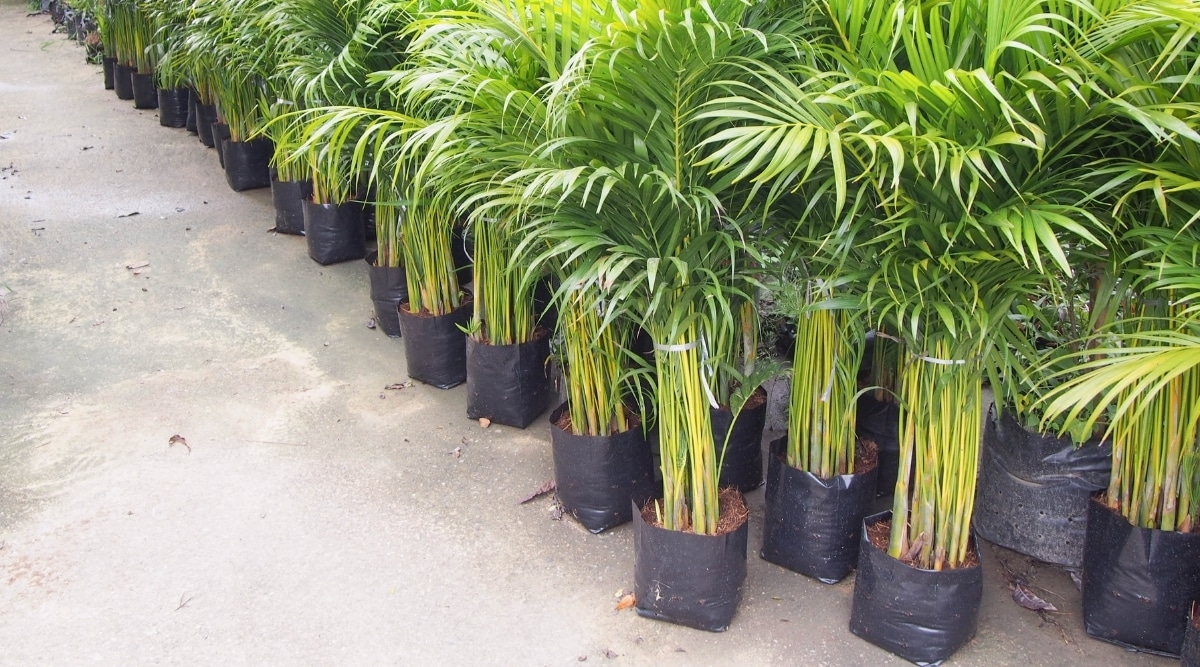 Palms in Potted Area