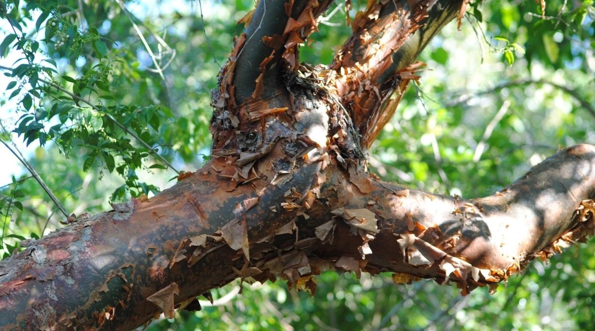 Peeling Bark of the Gumbo Limo Tree