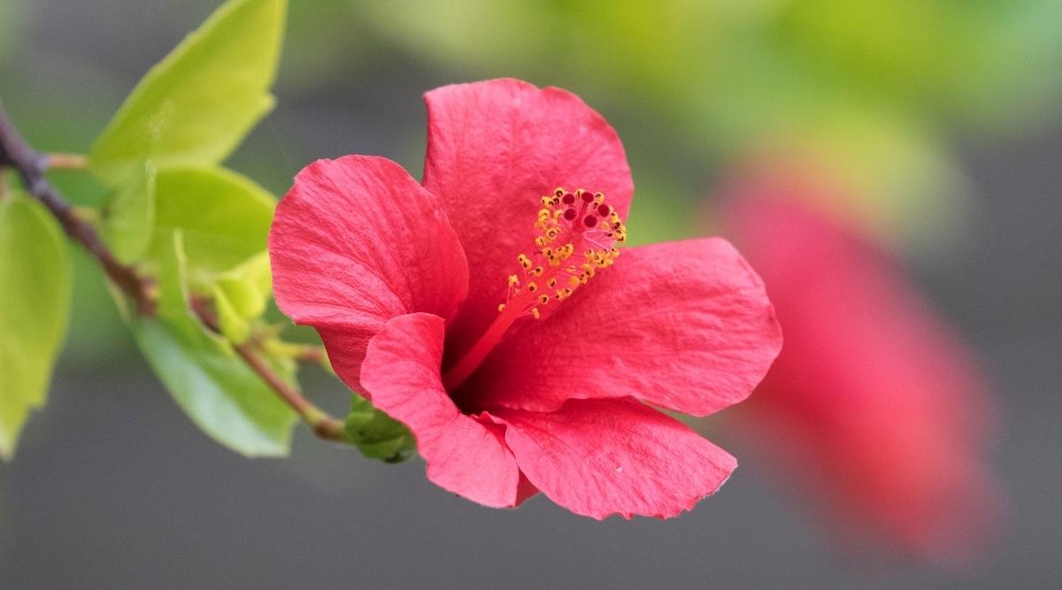 Pink Fertilized Hibiscus Flower