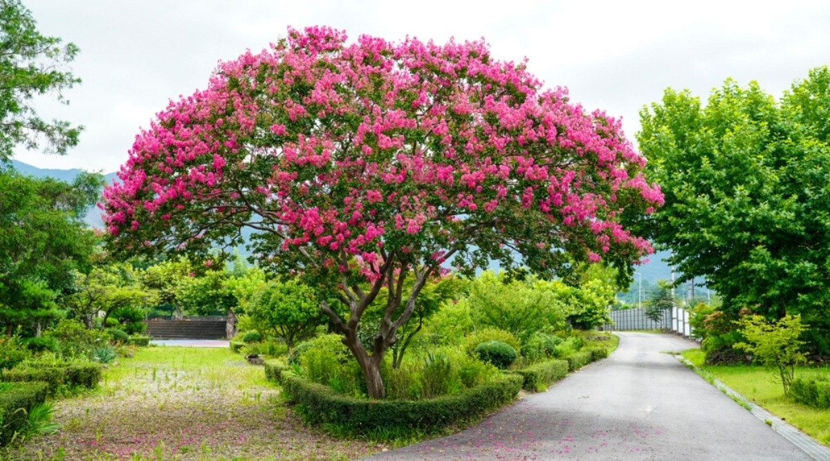 Pink Flowering Crape Myrtle in a Garden
