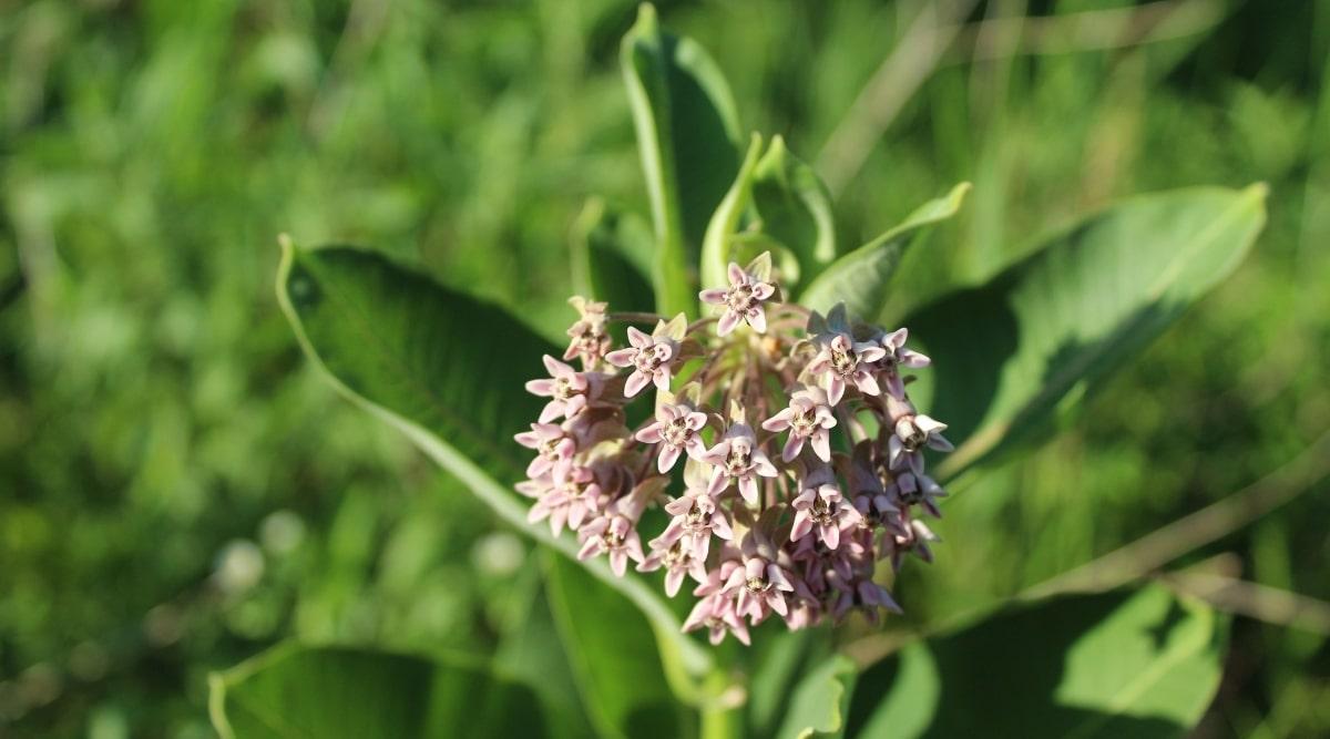 Prairie Milkweed