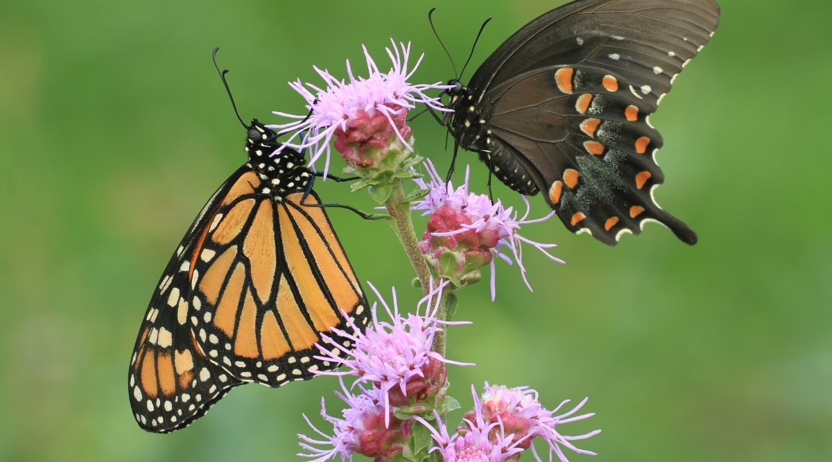Purple Blazing Star Flowers With Two Winged Insects