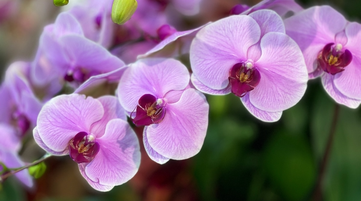 Purple Orchid is a Holo-Epiphyte Example