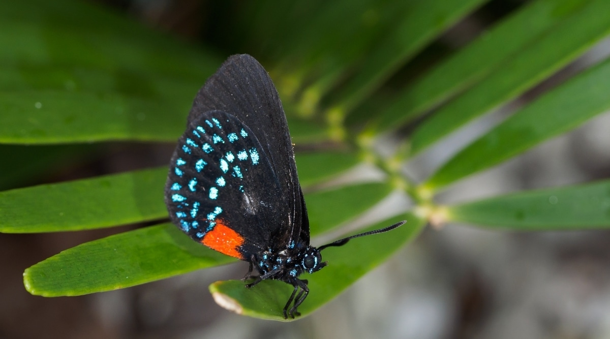 Rare Butterfly on a Glossy Green Leaf