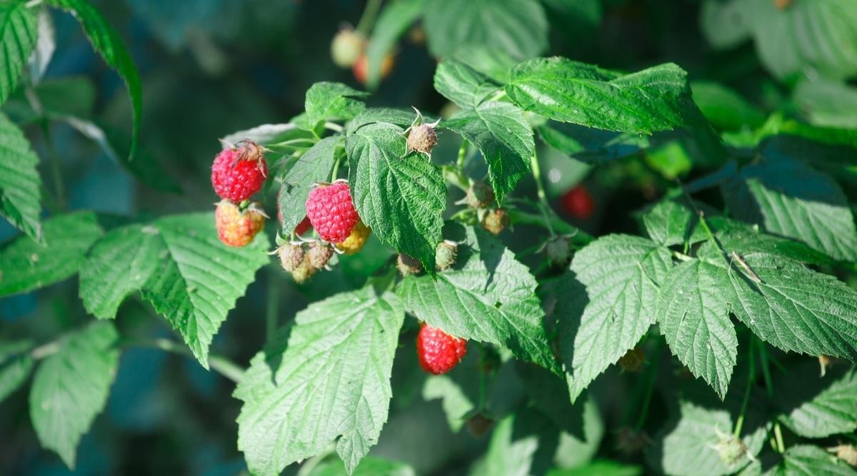Raspberry Bush With Fruit