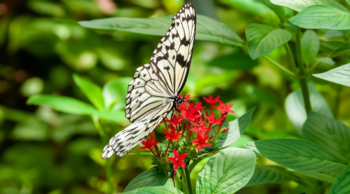 Red Pentas Plant With Butterfly