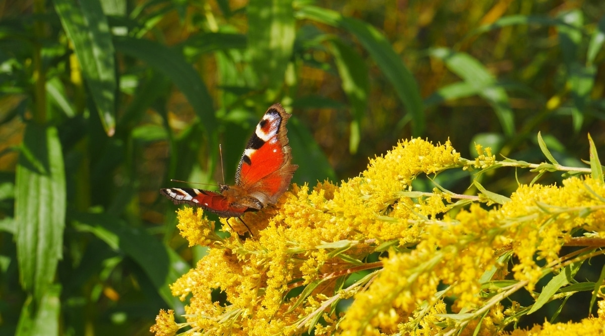Red Winged Insect on Goldenrod Blossoms