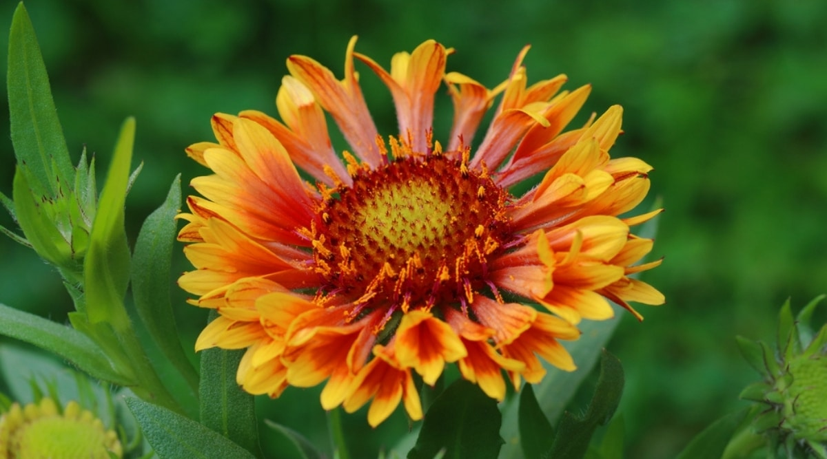 Red, Yellow, and Orange Blanket Flower