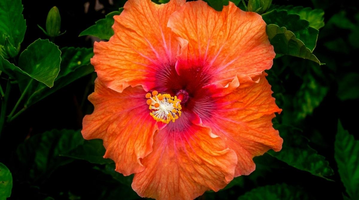 Red and Orange Fiesta Hibiscus Plant