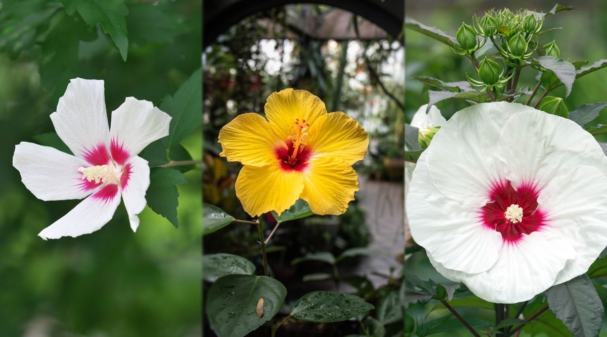 Rose of Sharon with Hardy Hibiscus and Chinese Hibiscus