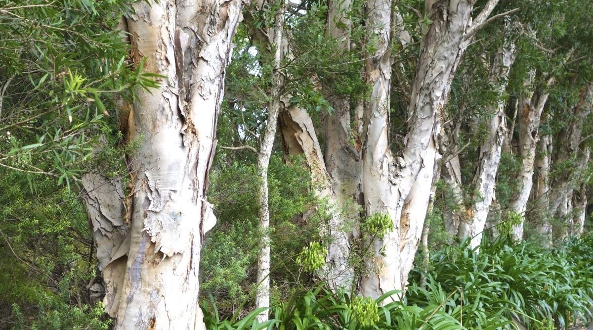 Row of Paperbark Trees