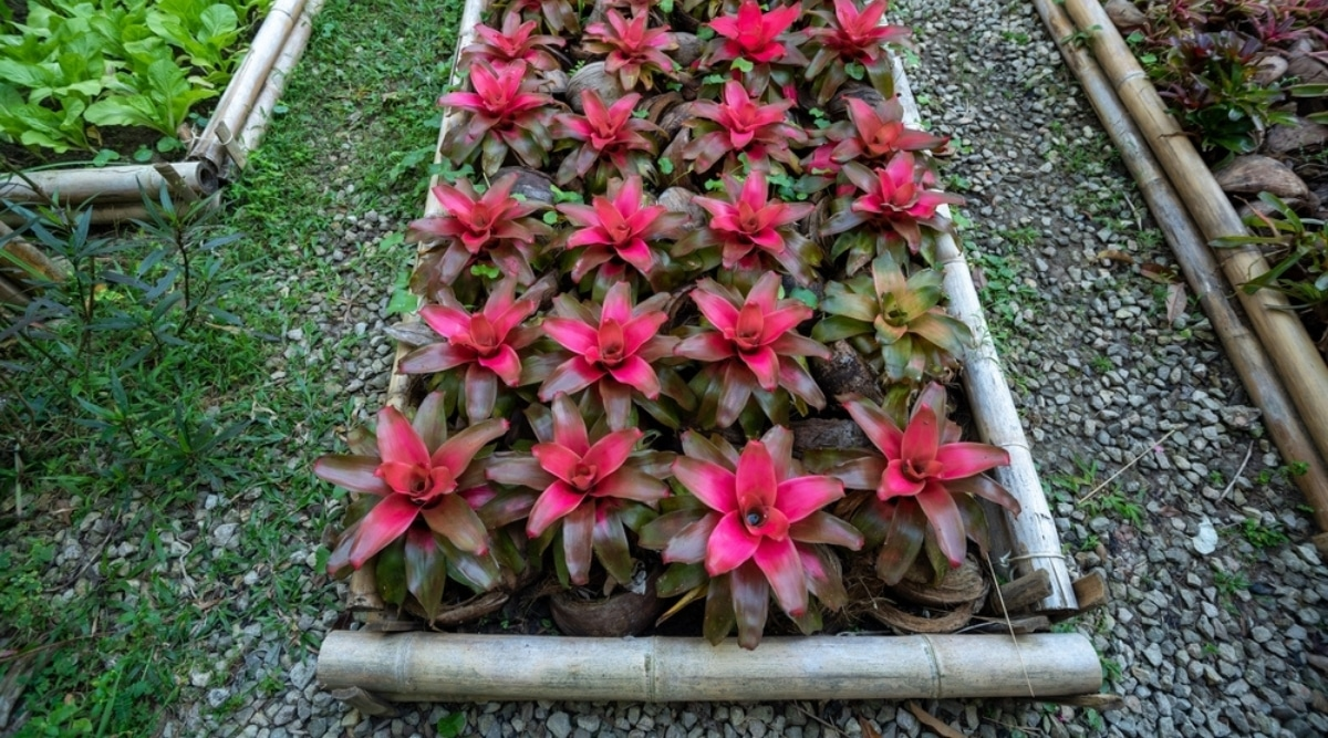Rows of Pink Tropical Plants