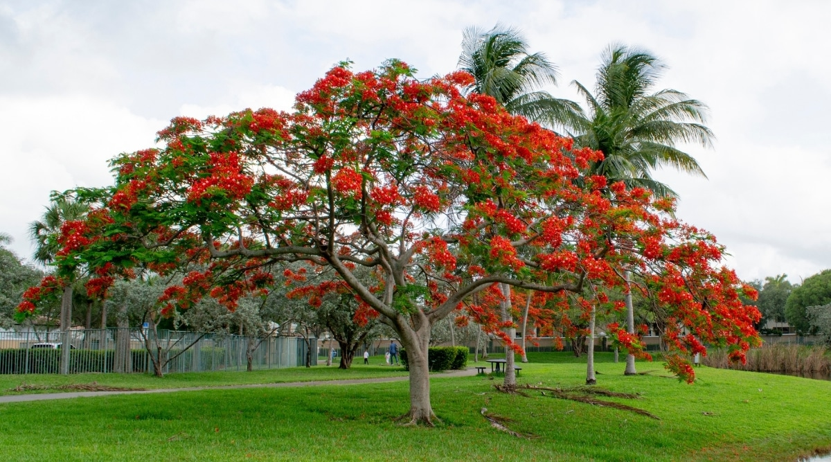 Royal Poinciana or Flame Tree at a Park