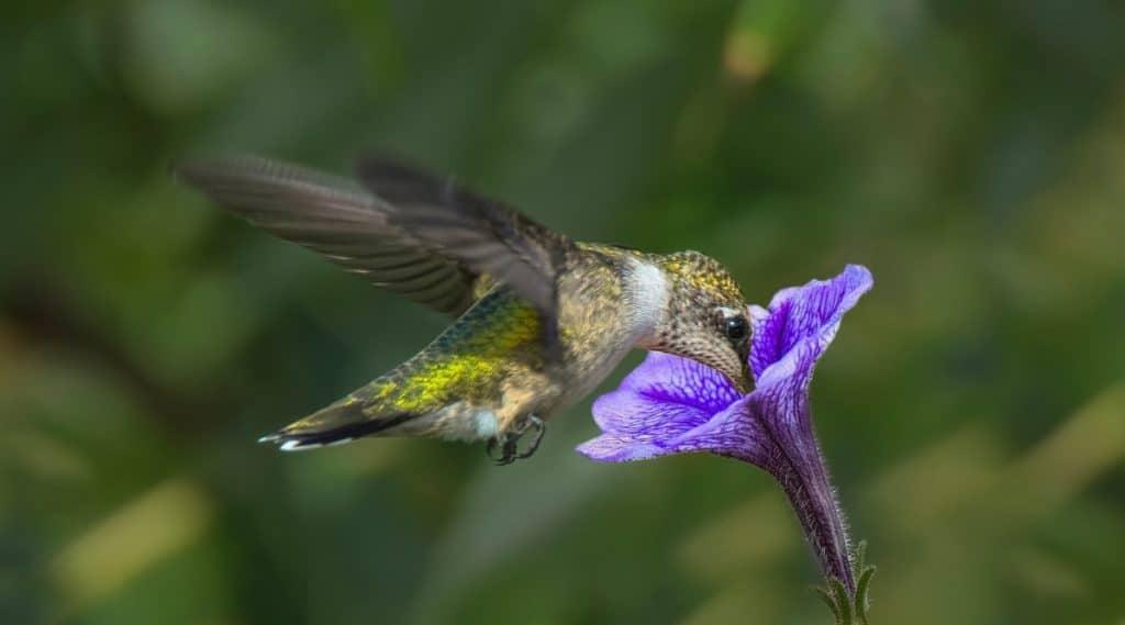Ruby Throated Hummingbird in Garden