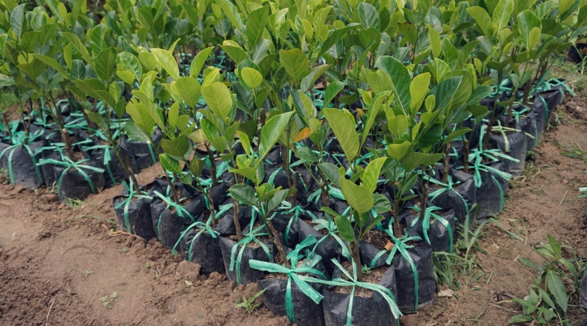 Sapling Trees in Bags at a Nursery