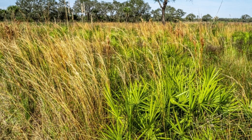 Sawgrass