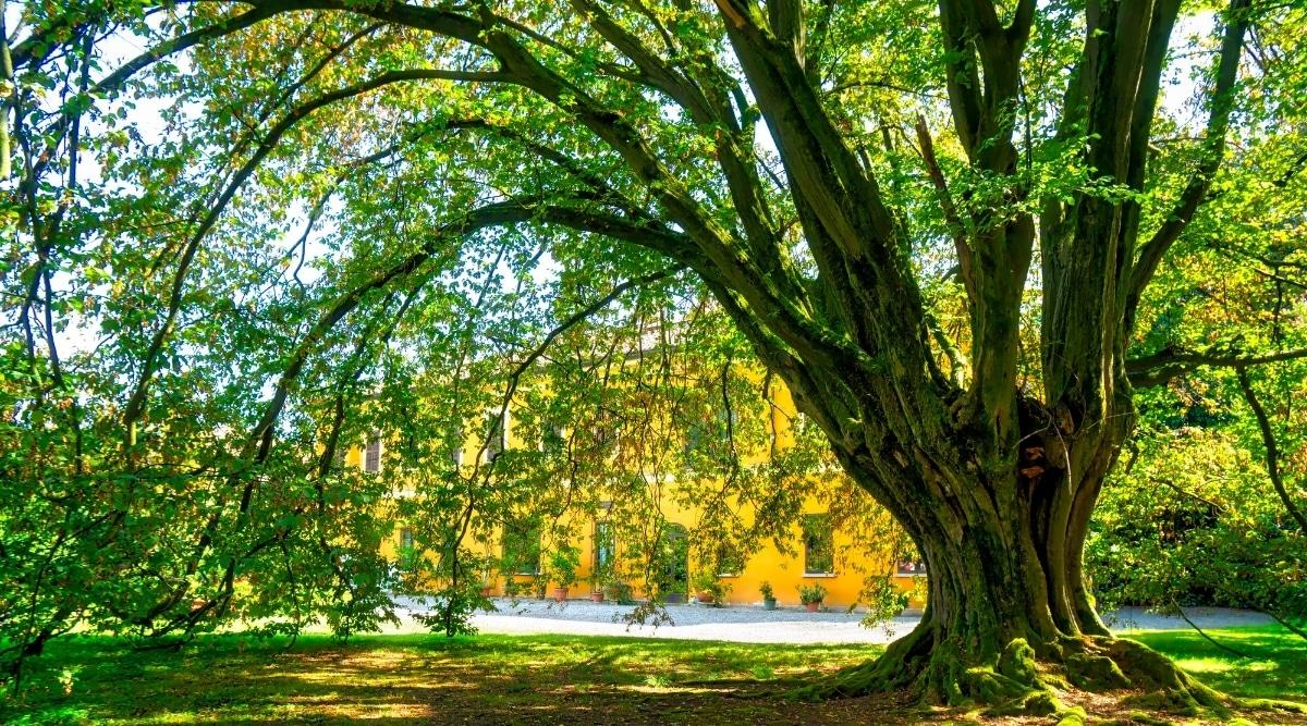 Shady Hornbeam Tree