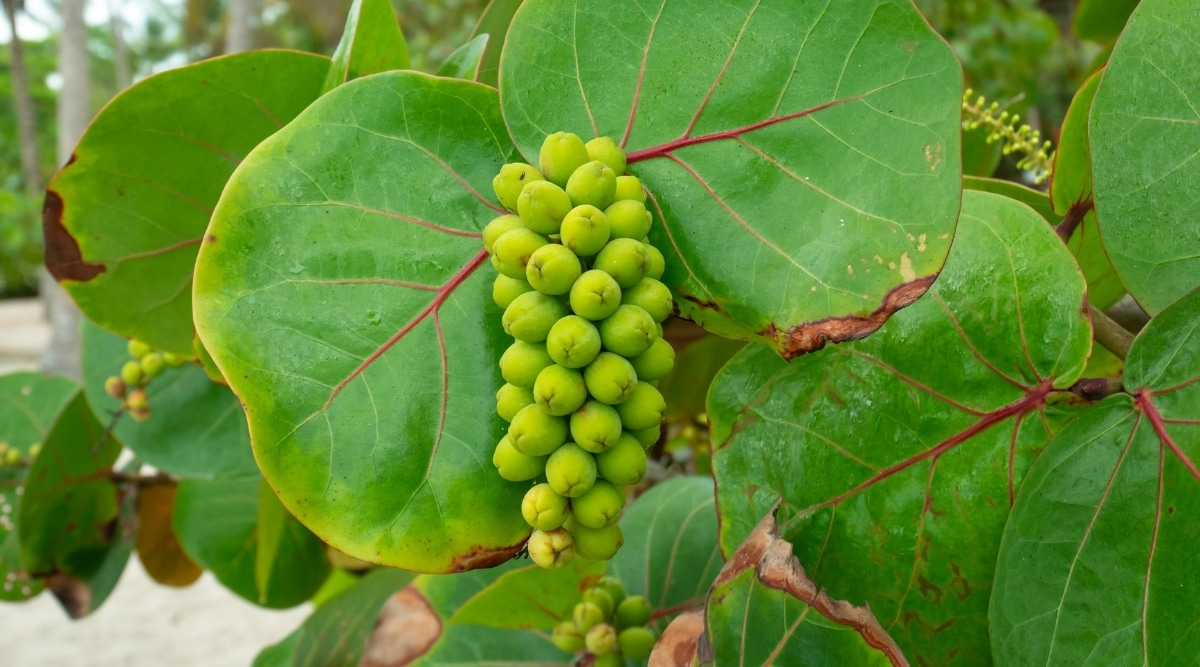 Shrub Growing on the Shore With Sweet Fruit