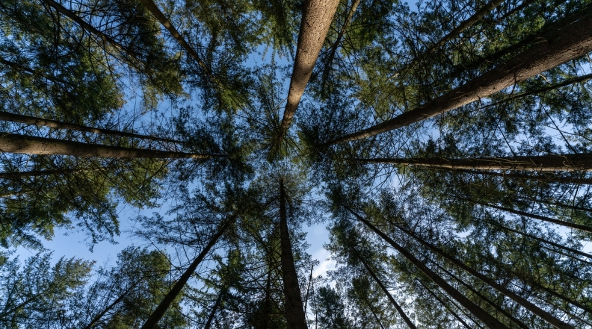 Skyward View of Pine Forest