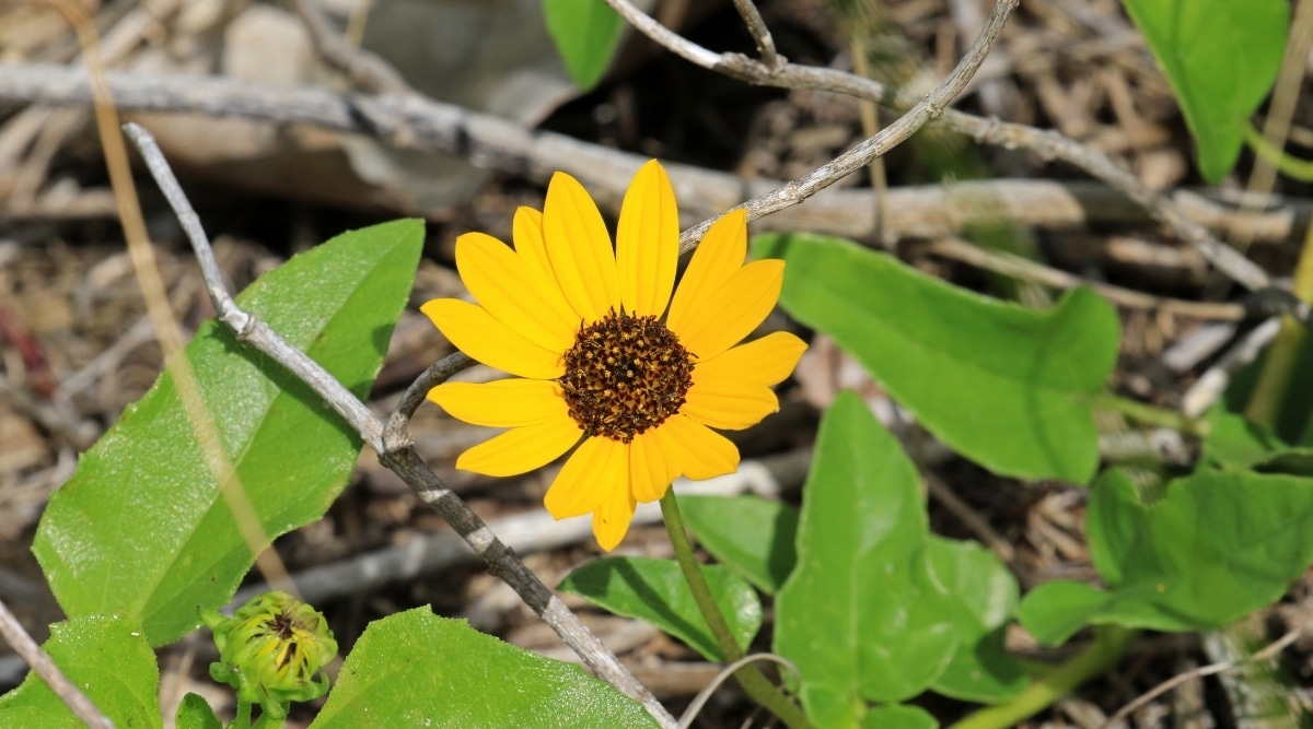 Small Yellow Flower With Brown Center