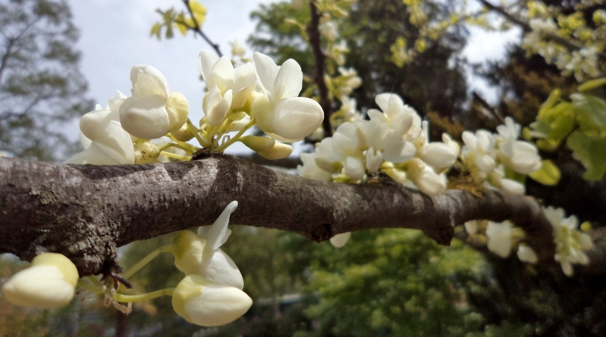 Soft White Flowers Growing on Trunk of Tree Branch