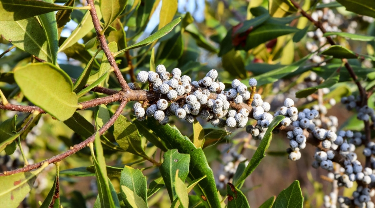Southern Bayberry Tree With Berries