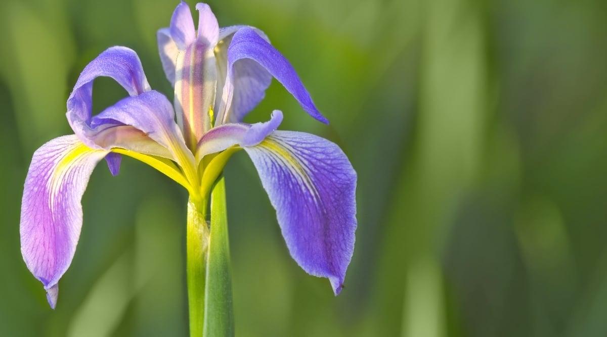 Purplish Flower in Green Grass