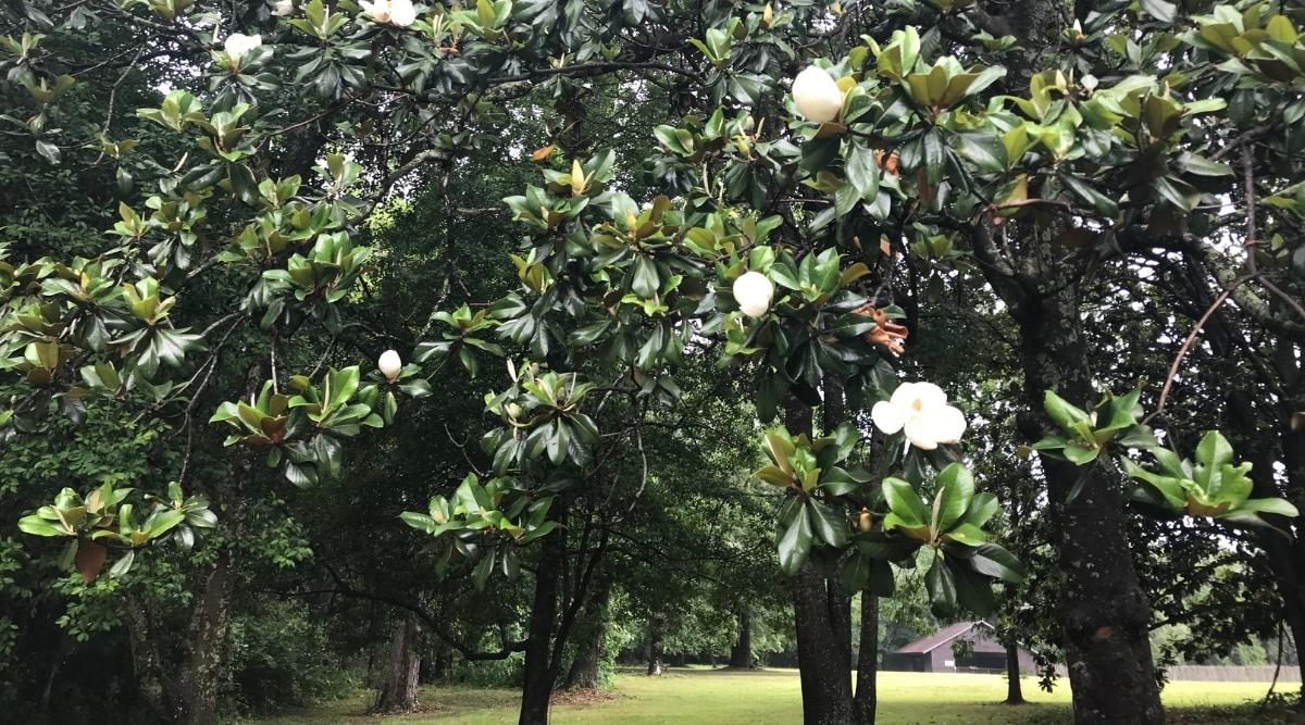 Southern Magnolia Tree Providing Shade to a Yard