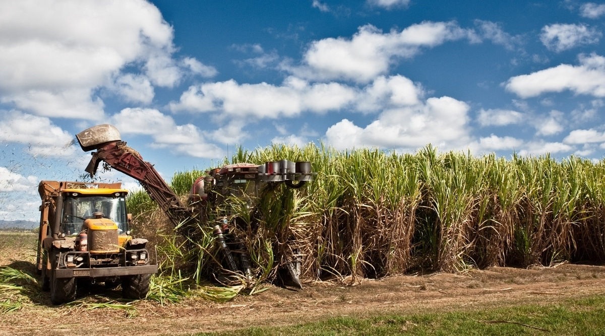 Sugarcane Being Cultivated