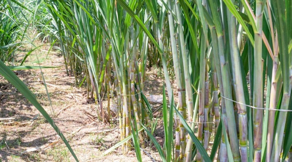 Sugarcane Planted in Garden