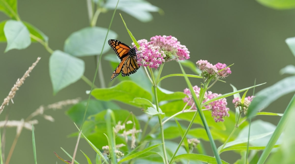 Swamp Milkweed With a Monarch