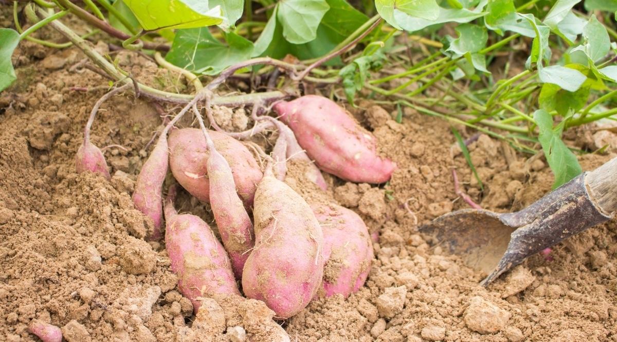 Sweet Potatoes in Garden with Vines