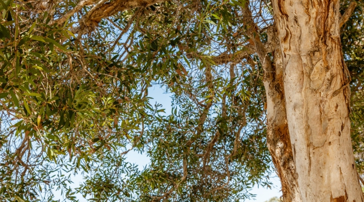 Tall Niaouli Tree