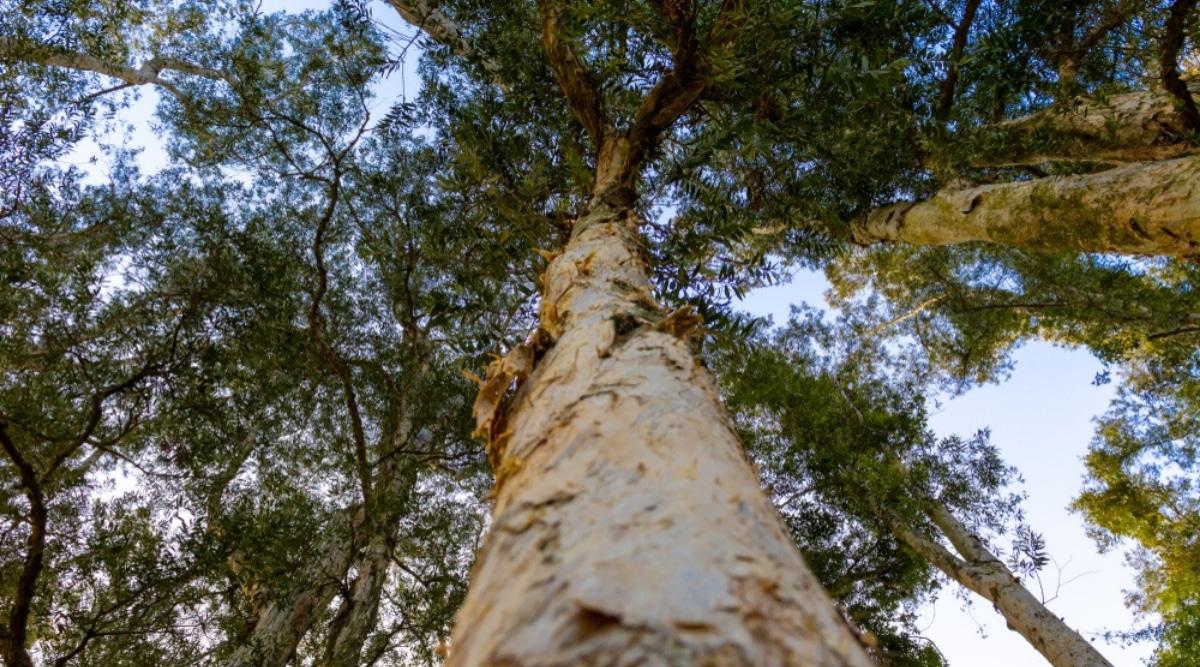 Tall Paperbark Tree