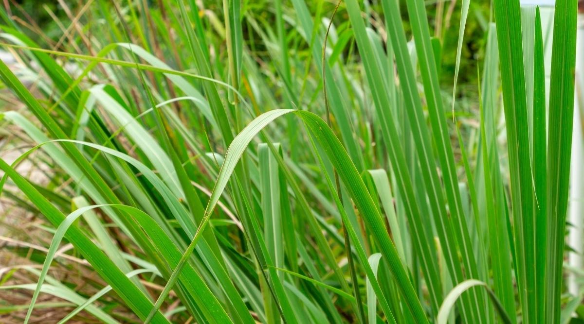 Tall Upright Green Foliage