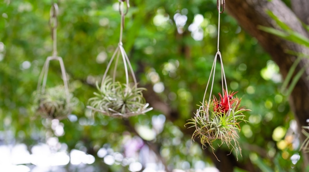 Three Air Plants Hanging Outdoors