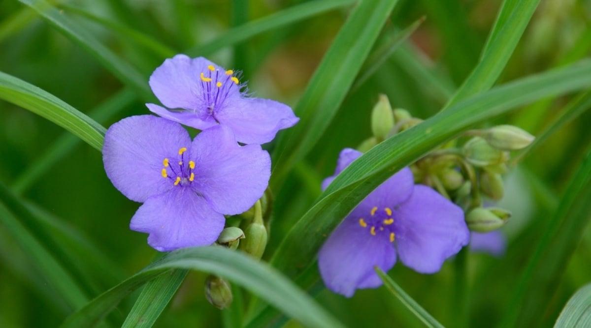 Three-Petal Flower Growing in Grass Foliage