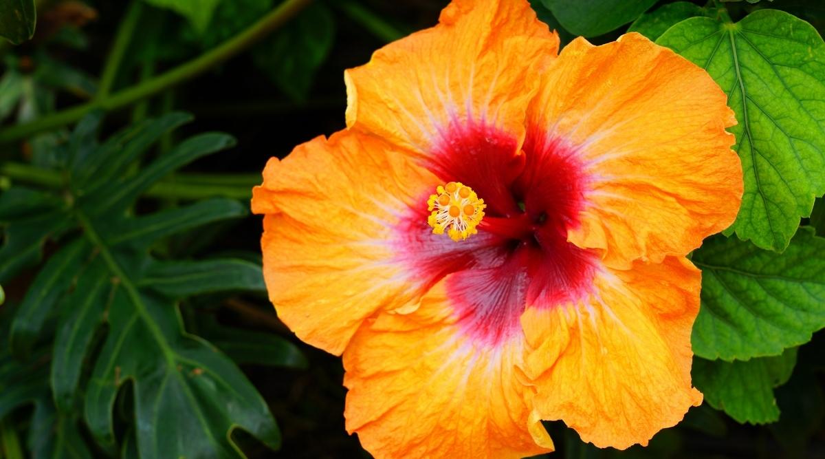 Tropical Fiesta Hibiscus