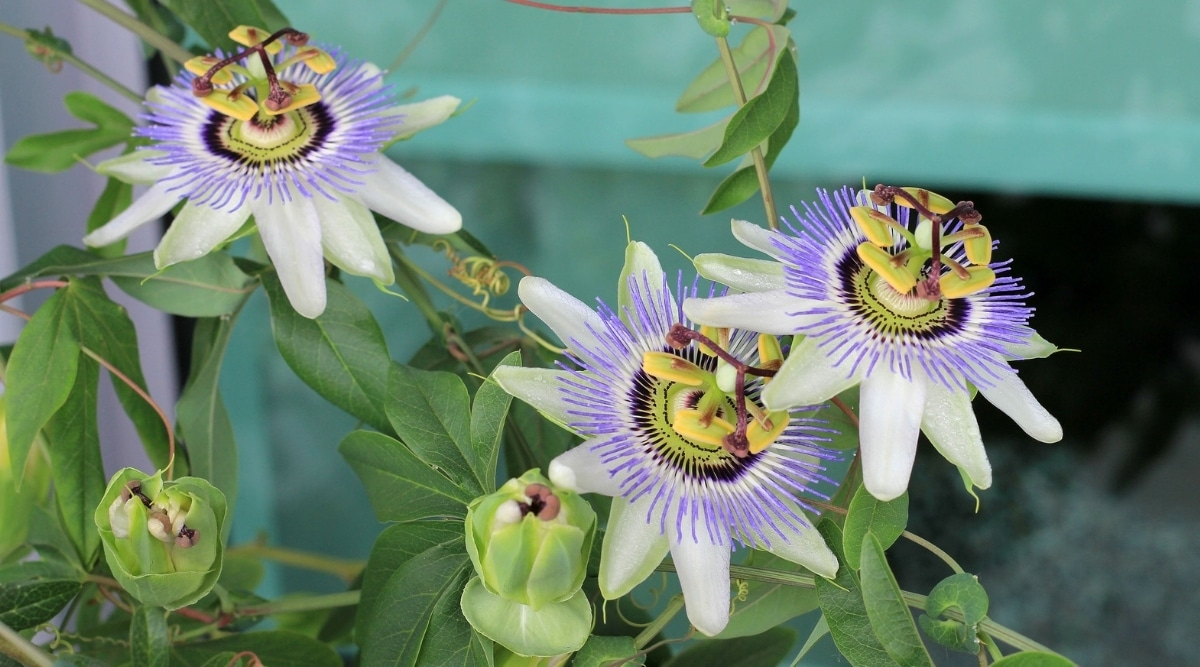 Unique and Exotic Purple Flowers on a Vine