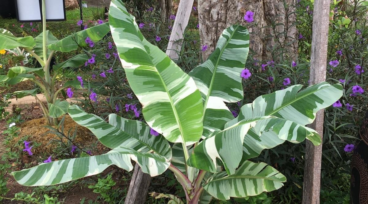 Variegated Musa Banana Tree in a Garden