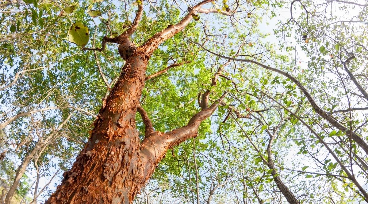 Very Tall Tree With Soft Bark
