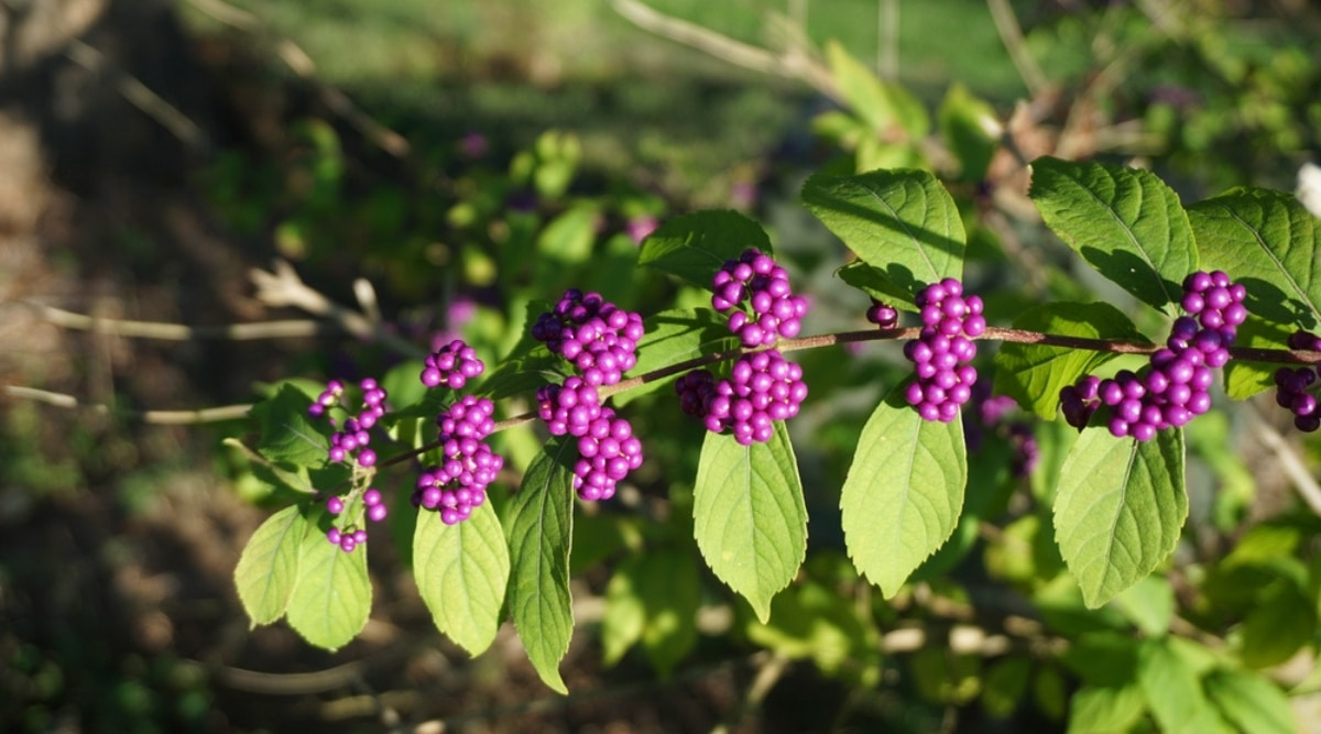 Vibrant Pink Berries Growing on a Branch
