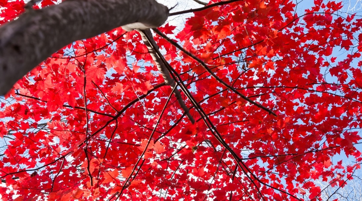 Vibrant Red Leaves of a Red Maple Tree in Autumn
