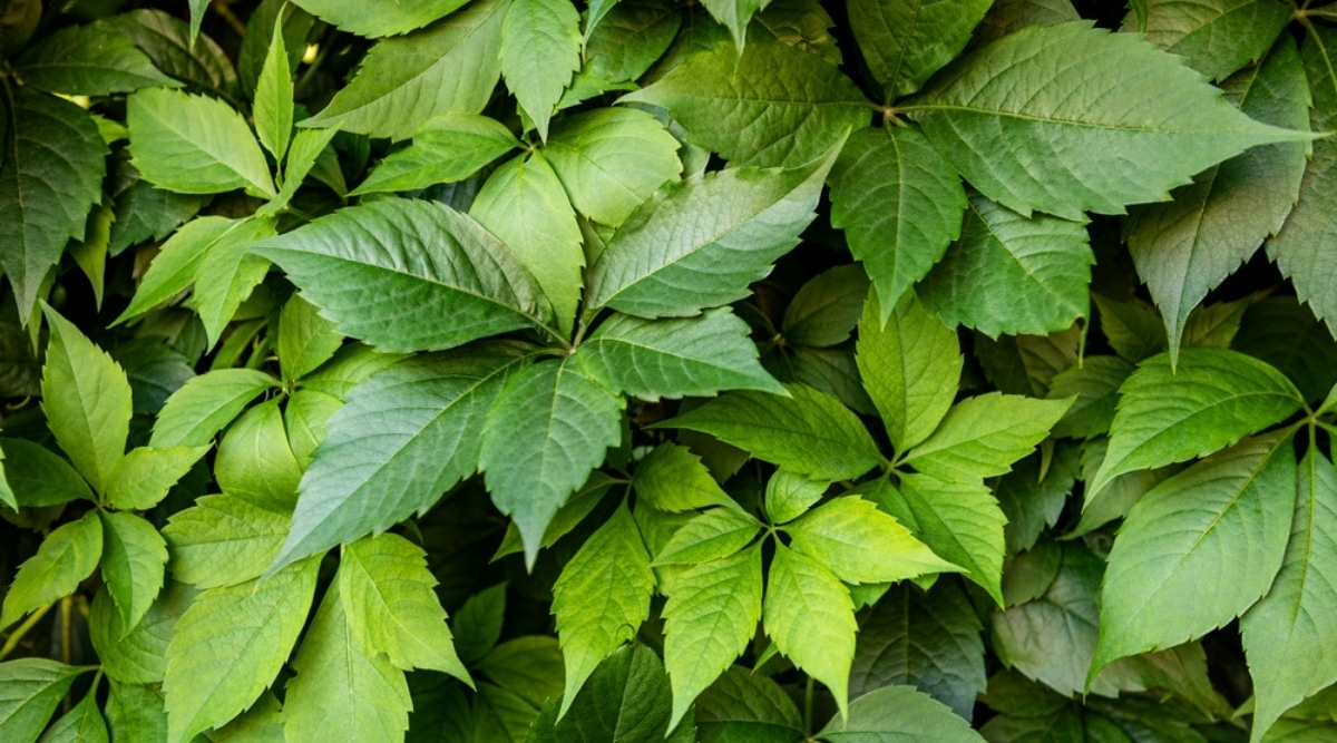 Virginia Creeper is a Common Poison Ivy Lookalike