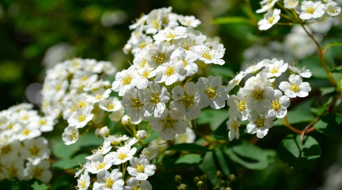 White Flowers of a Rusty Blackhaw Tree