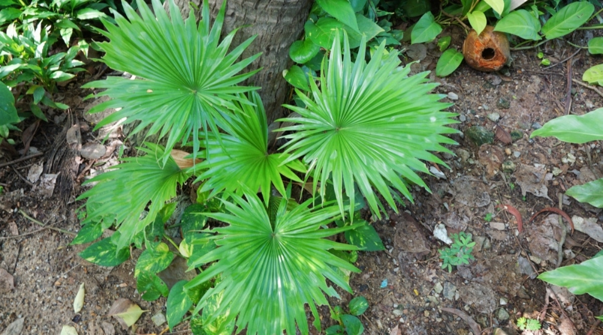 Wide Round Fronds Growing From a Stout Stem