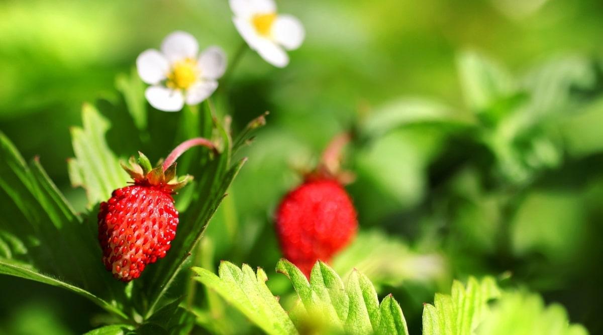 Wild Stawberries on Ground